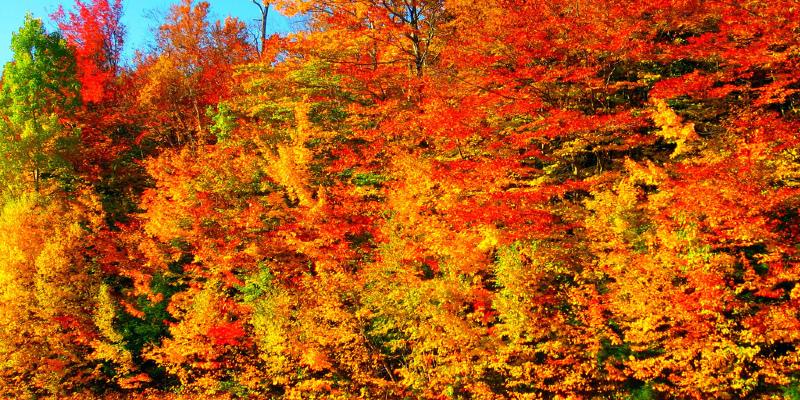 Great Design Plant: Wildlife-Loving Dwarf Fothergilla Blazes in Fall